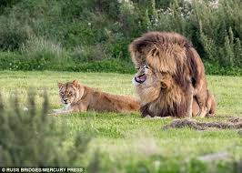 male lions mate lioness daily mail