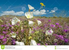 anza borrego desert desert lilies and white flowers blossoming with white puffy clouds