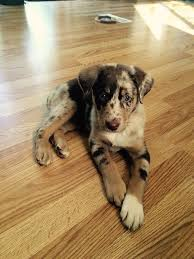 australian shepherd lab mix puppy 40 best cute pups images on pinterest animals dogs and puppies