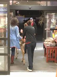 deer goes produce shopping in cooperstown price chopper
