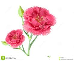 Carnation Flower Two Pink Carnation Flowers Stock Photos Image 8310823