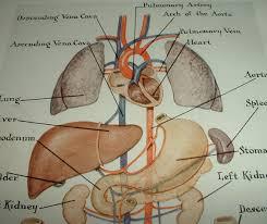 Human Anatomy Torso Diagram Diagram Of Human Anatomical Organs Human Anatomy Human Body