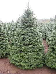 fresh cut christmas trees christmas trees molalla or phone
