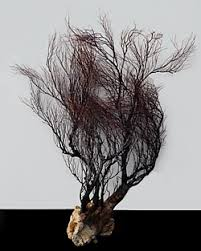 dried sea fans for sale shell horizons exotic seafans br barnacles sponges fish nets