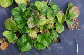 Strawberry Plant Diseases - common leafspot of strawberry nc state extension publications