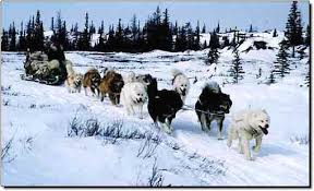 american eskimo dog for sale ontario sled dog central the canadian eskimo dog