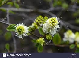 Scented Flowering Shrubs - fothergilla major witch alder white pale flowers spring scented