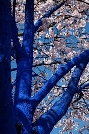 file konstantin dimopoulos blue tree in blossom looking up jpeg