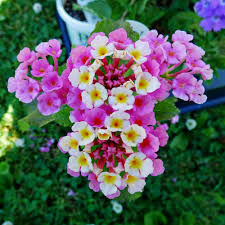 different lantana plant varieties u2013 types of lantana for the garden