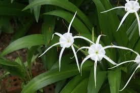 native plants of south carolina carolina spiderlily is a wonderful passalong plant harvey cotten