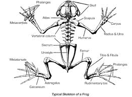 frog skeletal system gif frog dissection pinterest