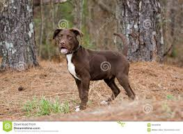 american pitbull terrier puppies for adoption chocolate american pitbull terrier puppy dog stock photo image