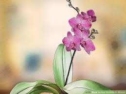 orchid pictures 3 ways to get orchids to bloom wikihow