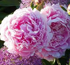 pianese flowers peonies from heaven plant peonies now and they ll light up your