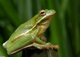 frog friday green treefrog vdgif