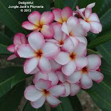 Plumerias Jungle Jacks Plumeria Shop A Z