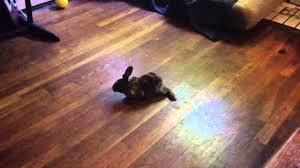 Dogs On Laminate Floors Bunny Vs Hardwood Floor Youtube