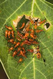 question are assassin bugs friend or foe to tomato plants