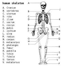 Human Anatomy Skeleton Diagram The 25 Best Human Skeleton Labeled Ideas On Pinterest Human