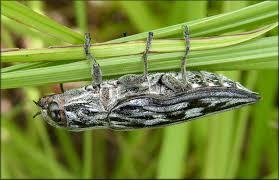 florida wood wood boring beetle family buprestidae chalcophora sp