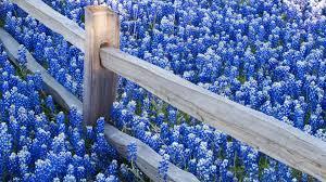Bluebonnet Flowers - bluebonnet flower wallpaper