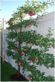 backyards splendid arborvitae hedge cook 137 backyard privacy