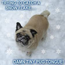 Funny Pug Memes - memes images funny pug catching a snow flake hd wallpaper and