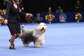 Dog Show Thanksgiving Day Best In Show Highlights From The National Dog Show Hop To Pop