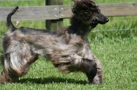 afghan hound good and bad afghan hound temperament u0026 personality