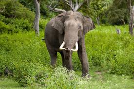 teen elephant mothers die younger but have bigger families study