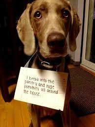 Dog Shaming Meme - 14 of the funniest dog shaming photos ever