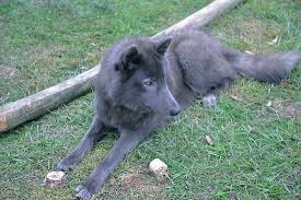 belgian sheepdog for adoption domestic breeds with known or suspected wild ancestry topics on