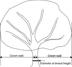 maximum crown width to diameter relationship