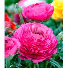 Ranunculus Ranunculus Pink 10 All Bulbs Flower Bulbs Gardening