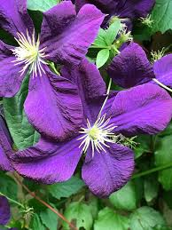 clematis u2013 daily art enrichments