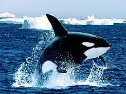 killer whales 6839329