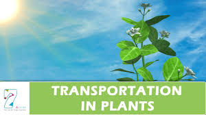transportation in plants youtube