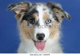4 month australian shepherd blue eyed australian shepherd dog stock photos u0026 blue eyed
