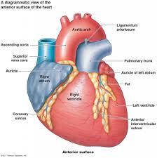Heart Anatomy Youtube Anatomy Of Left Auricle Heart Anatomy Left Atrium 3d Anatomy