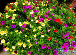flowers garden petunia seeds original package 120 pieces super