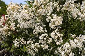 tree with white flowers a list of shimmering white flowering trees to soothe your