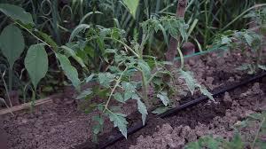 organic tomato plants vegetable garden irrigation system