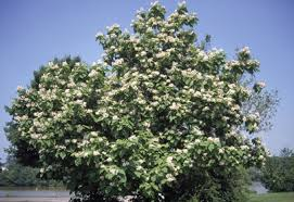 Cottonwood Tree Flowers - trees of ohio northern catalpa