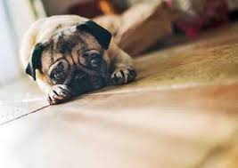 boxer dog upset stomach 5 best supplements for your dog dogtime