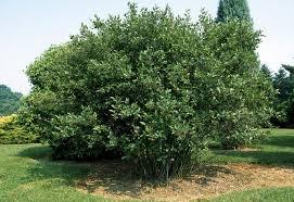 chokeberry black trees for sale aronia melanocarpa ready to