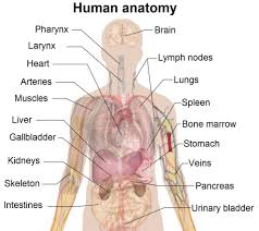 Anatomy Of Stomach And Intestines Anatomy Organ Pictures Human Anatomy Kidney Location Pictures