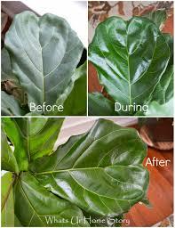 fiddle leaf fig tree care fiddle leaf fig fiddle leaf and