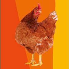 animali da cortile in regalo regala la gallina oxfam italia
