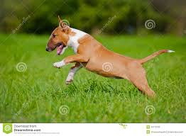 american pitbull terrier jumping red english bull terrier jumping royalty free stock images image