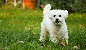 haircutsfordogs poodlemix lhasapoo lhasa apso and poodle mix spockthedog com
